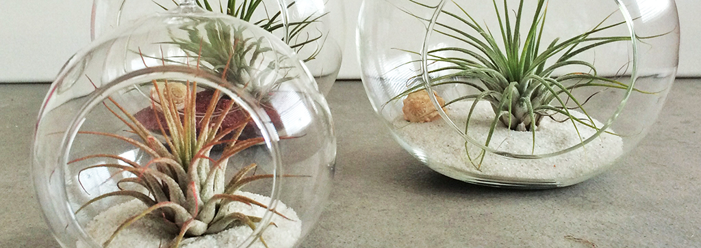 Tilly Air Plants
